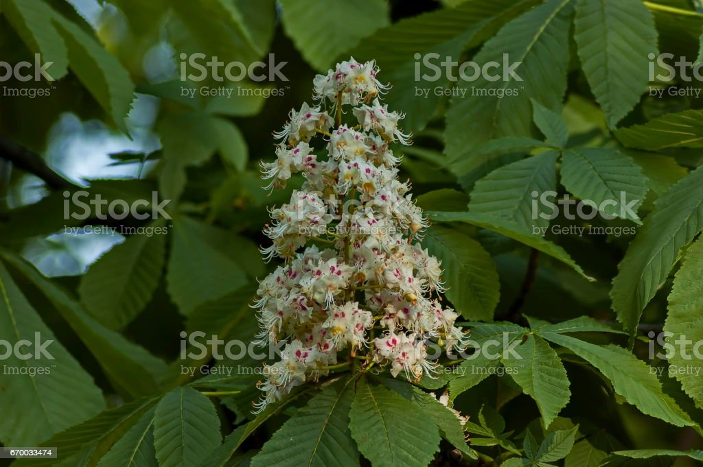 White horse-chestnut,  Aesculus hippocastanum or Conker tree with flower and leaf stock photo