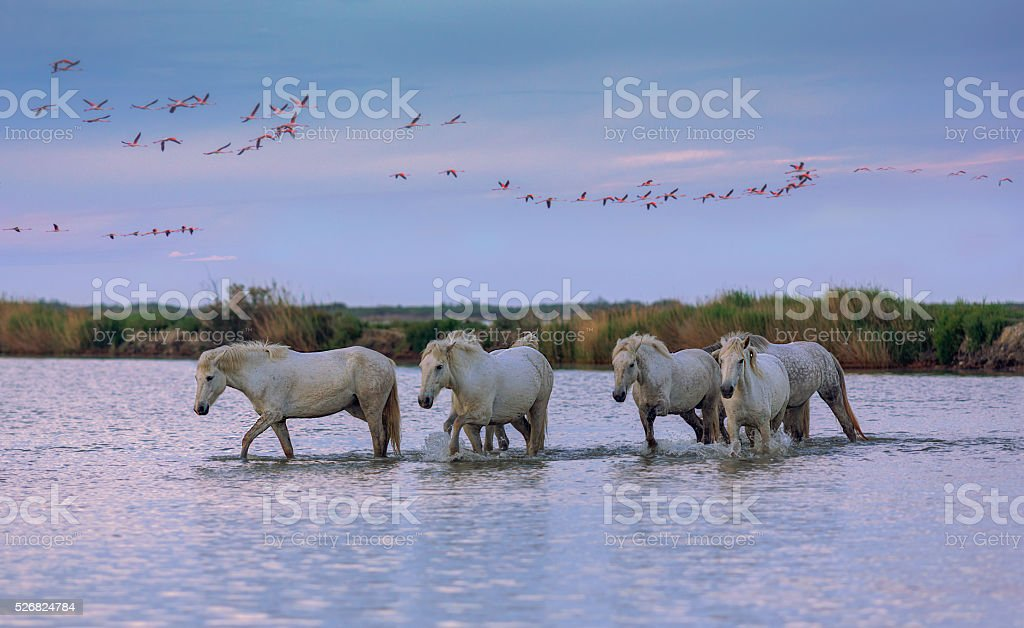 white horses at sunset stock photo