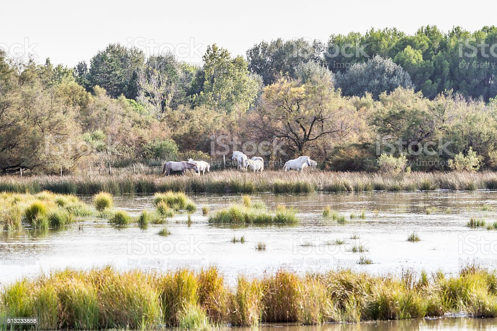 White horses in Camargue - France stock photo