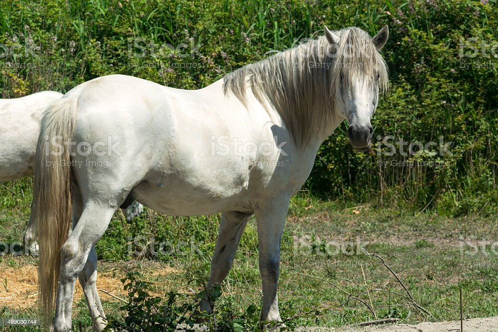 White horses in Camargue (Provence) stock photo