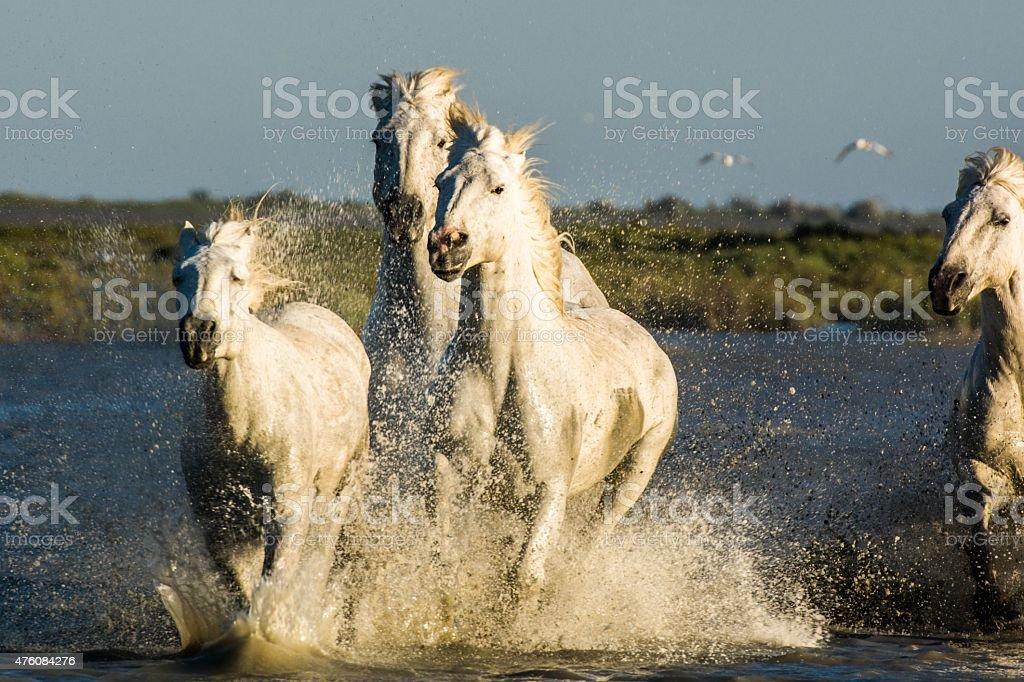 White horses of Camargue, France stock photo