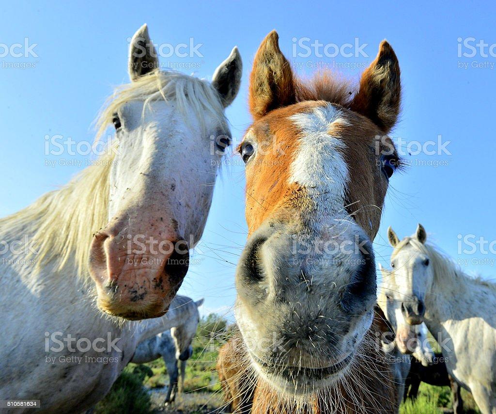 White horses of Camarque stock photo