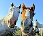 White horses of Camarque