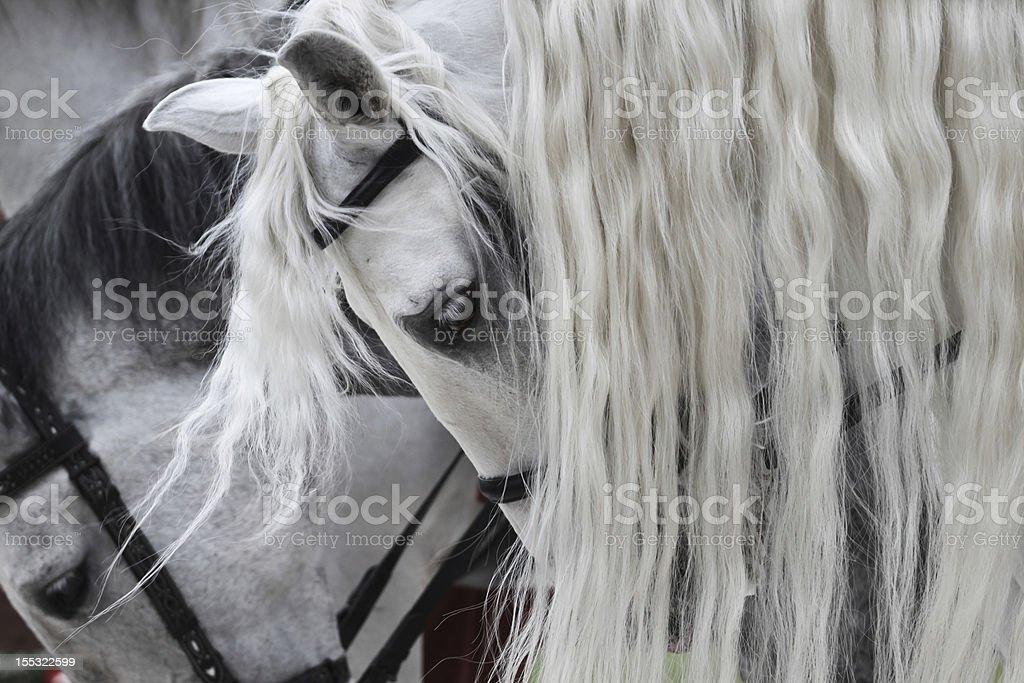 White horses royalty-free stock photo