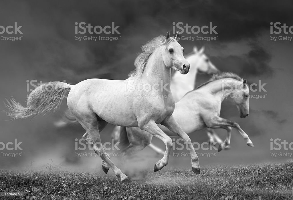 white horses royalty-free stock photo