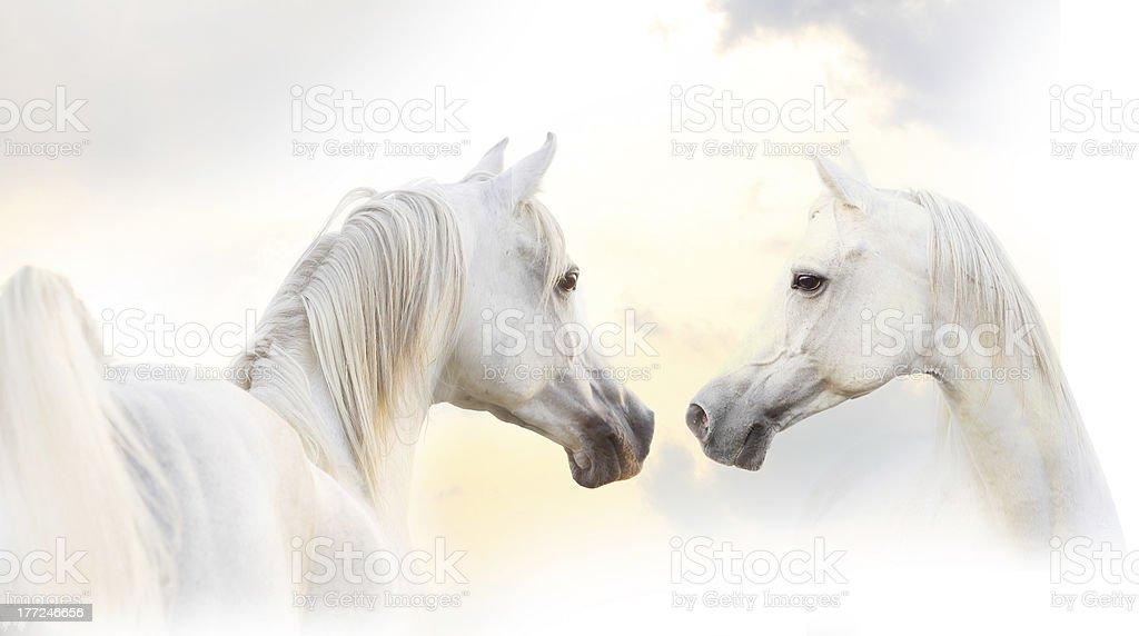 white horses stock photo