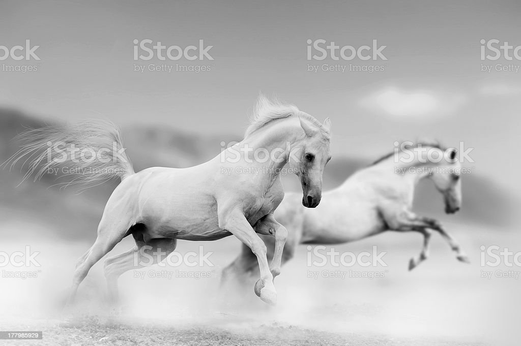 White horses stock photo
