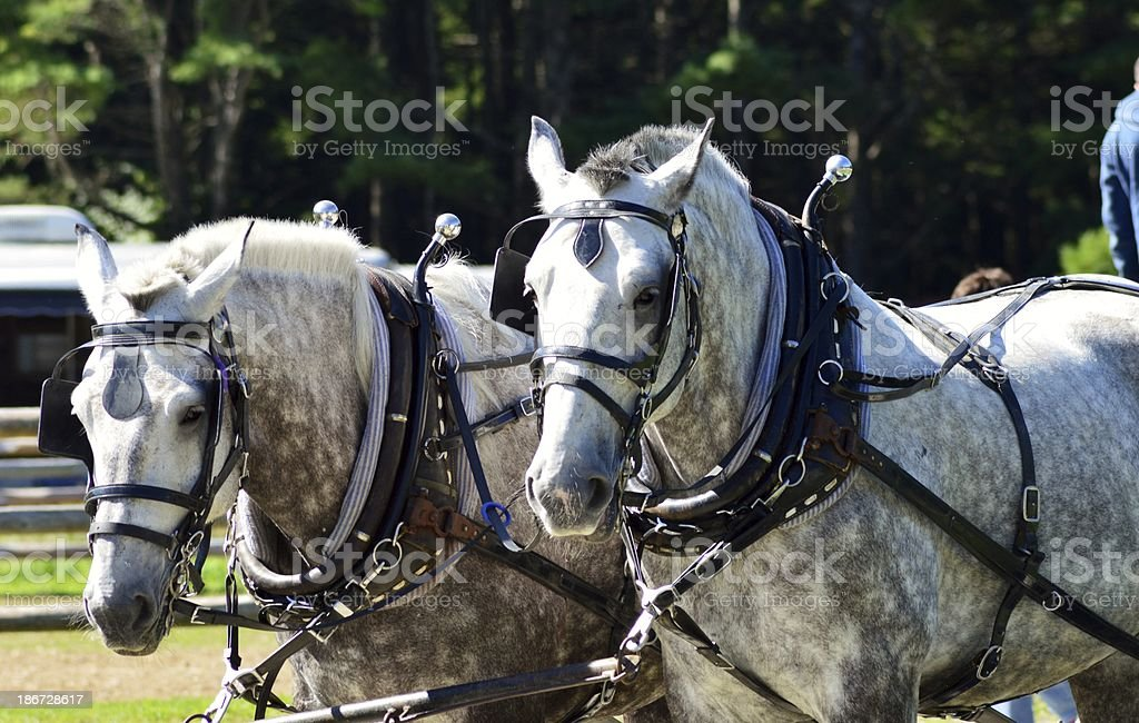 Blanc chevaux photo libre de droits