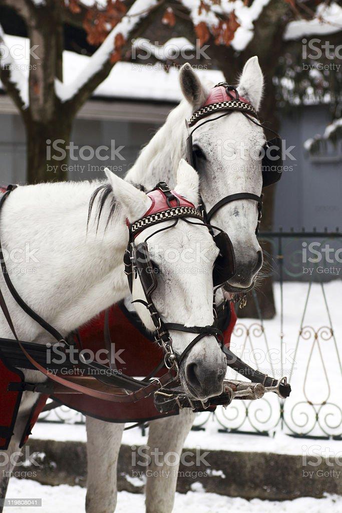 White Horses portrait stock photo