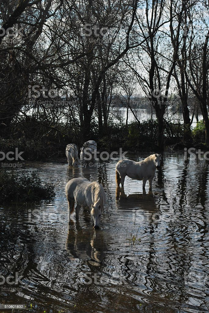 White horses relaxing in a shallow pool stock photo