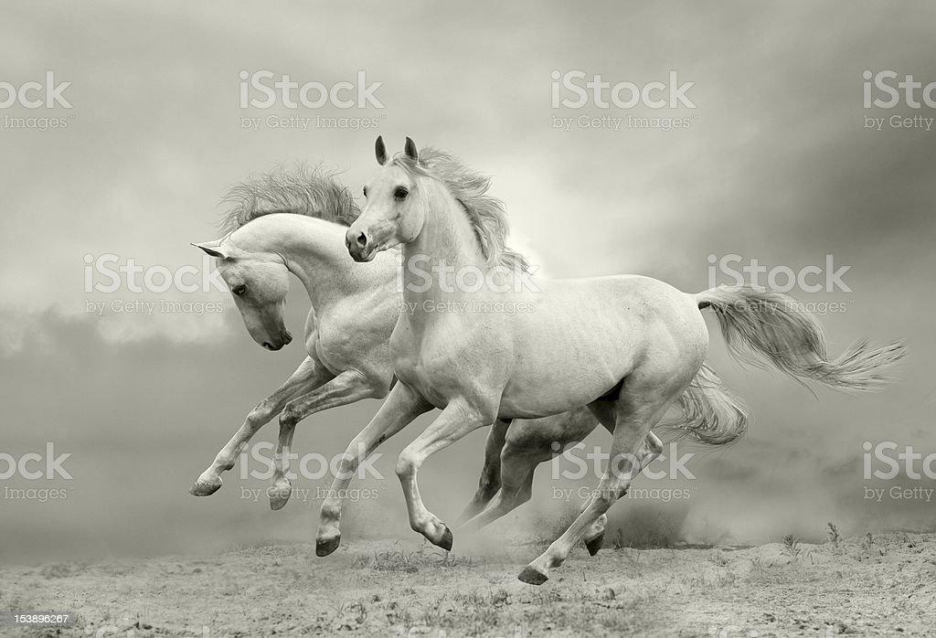white horses run stock photo