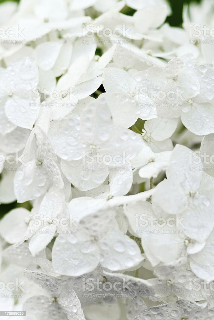white hortense with water drops stock photo