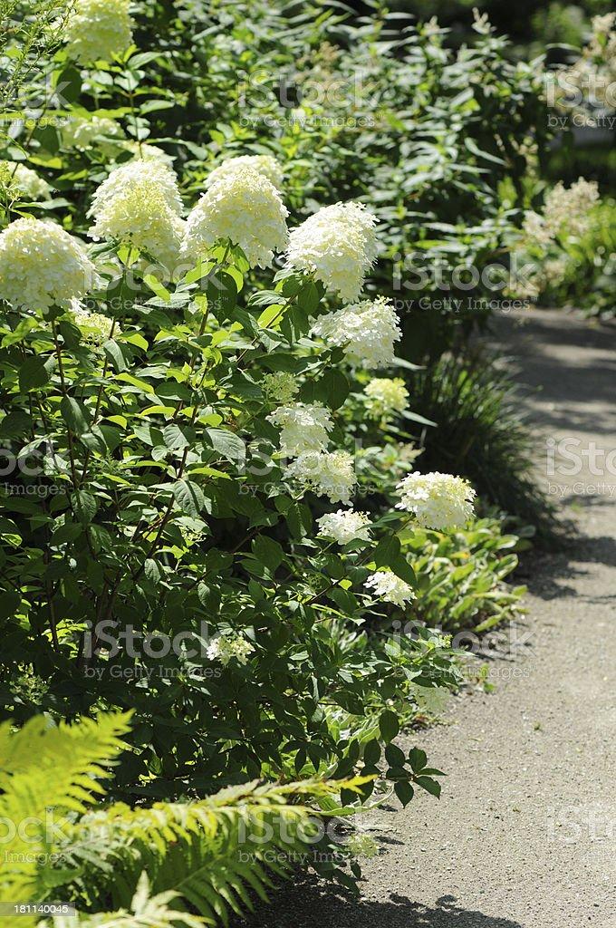 white Hortensia (Hydrangea) in a park - Hortensien stock photo