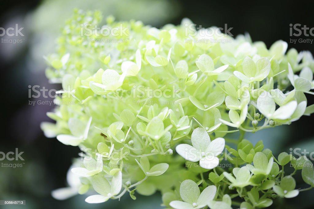 white Hortensia (Hydrangea) stock photo