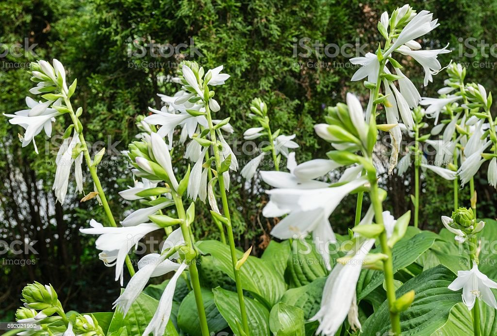 White Hosta in Bloom stock photo