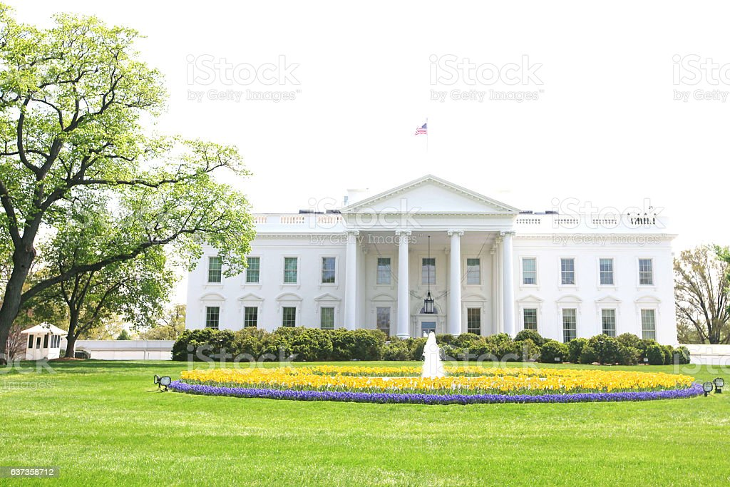 White House Gold Tulips stock photo