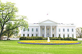 White House Gold Tulips
