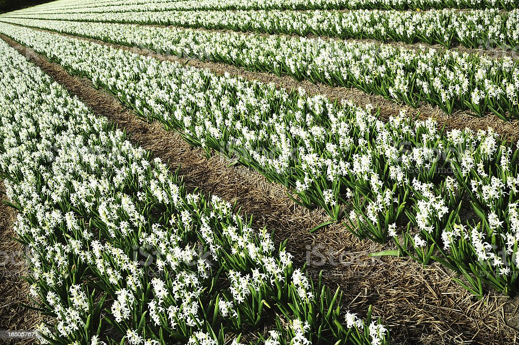 White Hyacinth Fields in Holland Spring stock photo