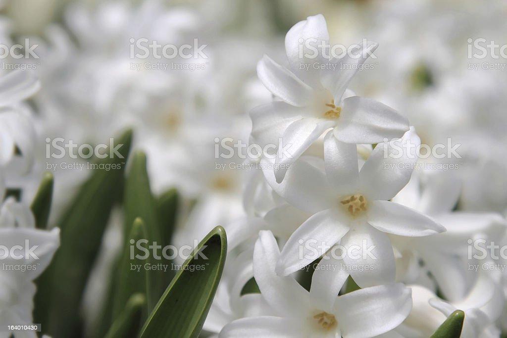 White Hyacinth stock photo