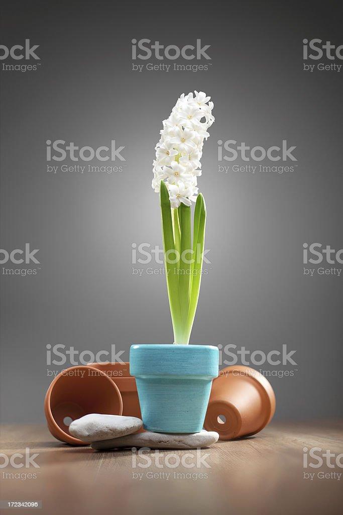 White hyacinth royalty-free stock photo