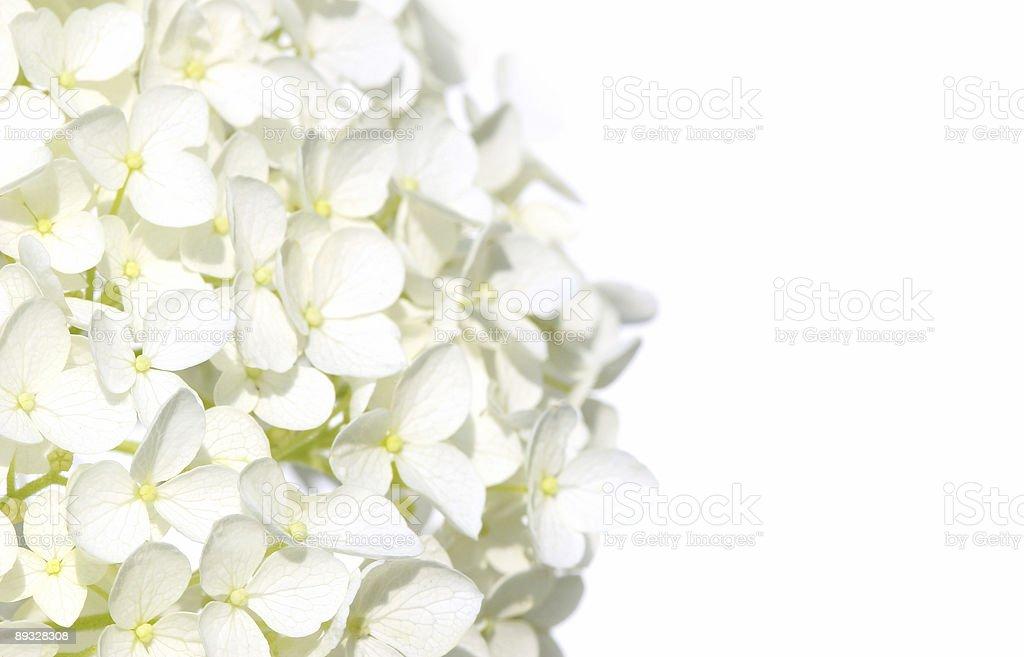 White hydranga flowers stock photo