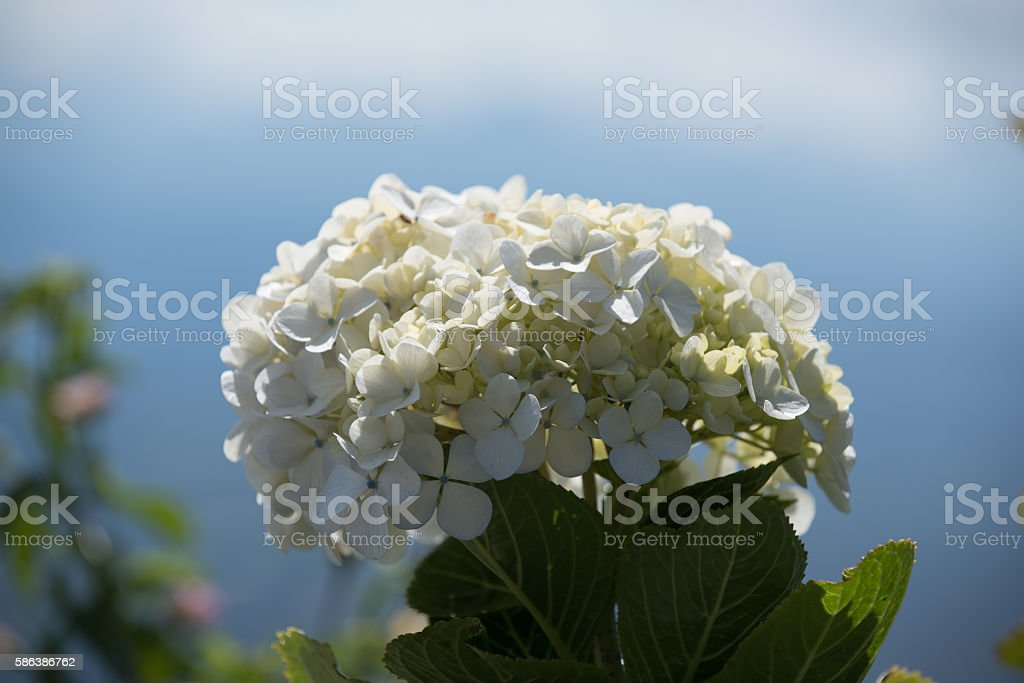 White Hydrangea blossom bokeh in Costa Rica stock photo