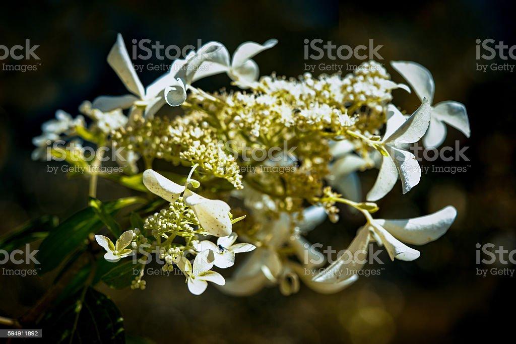 White Hydrangea (hortensia) flower for decoration stock photo