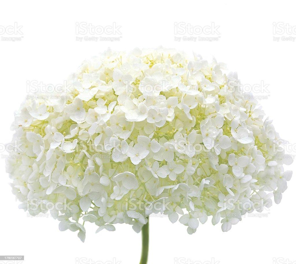 White Hydrangea Flower Isolated Macro Closeup, Mophead Annabelle H. Arborescens stock photo