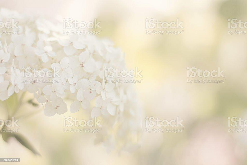 white hydrangea stock photo - White Hydrangea
