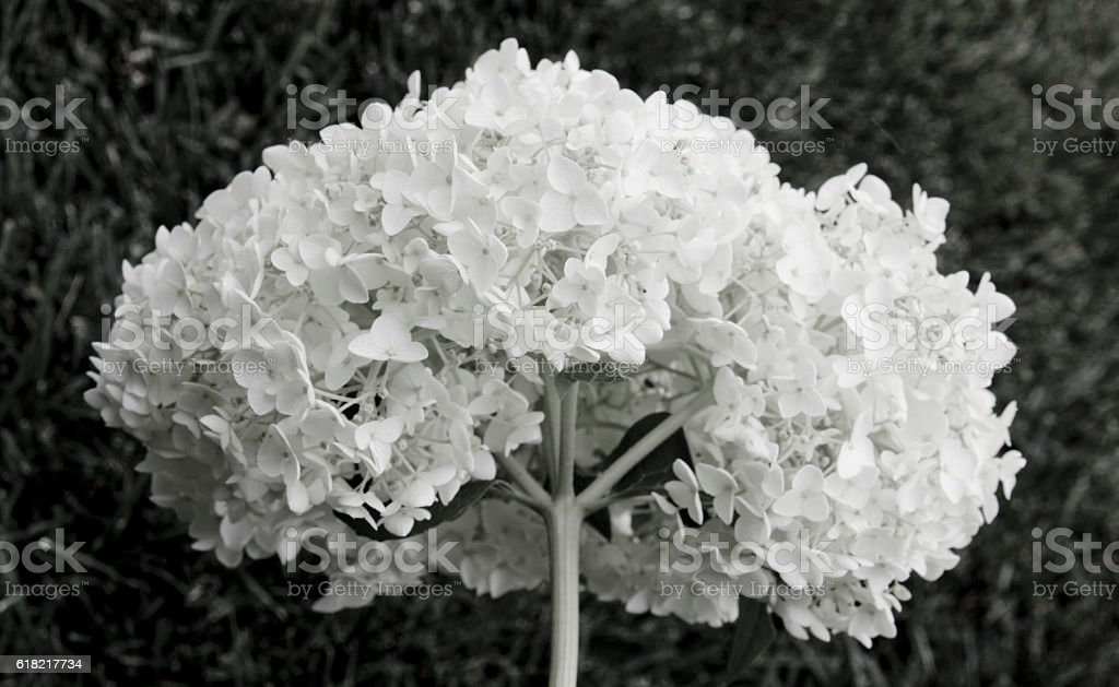 White Hydrangea stock photo