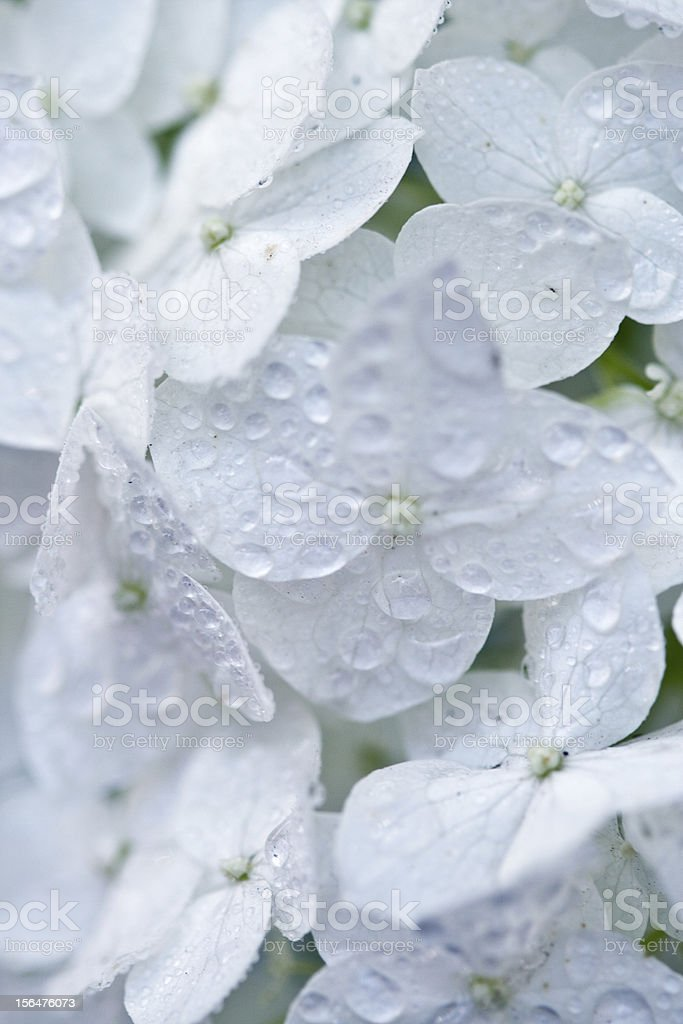 white hydrangea with water drops stock photo