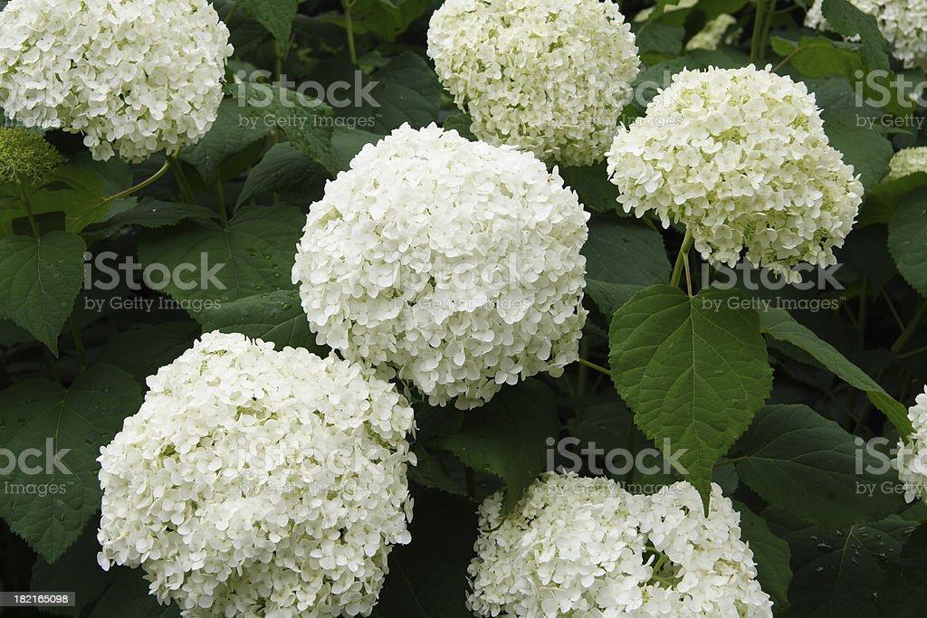 white hydrangeas stock photo - White Hydrangea
