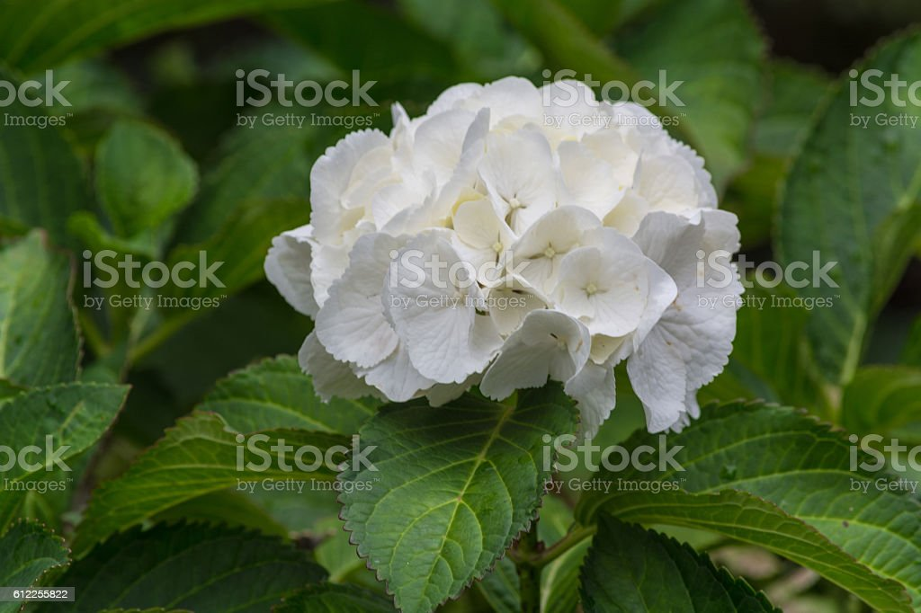 White hydrangeas with green leaves. stock photo