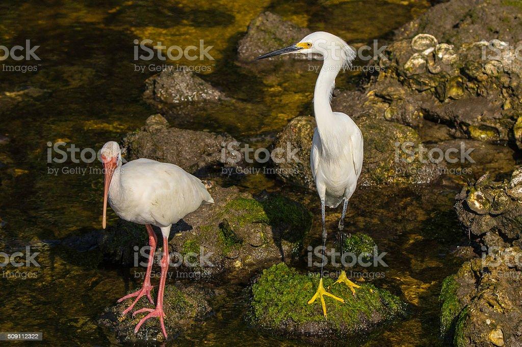 White Ibis and Snowy White Egret stock photo