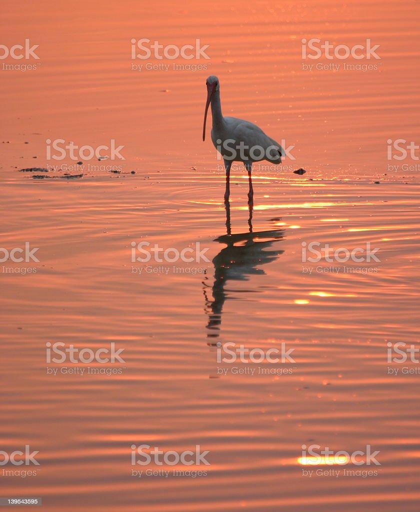 White ibis at sunset stock photo
