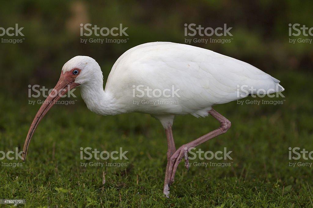 White Ibis browsing stock photo