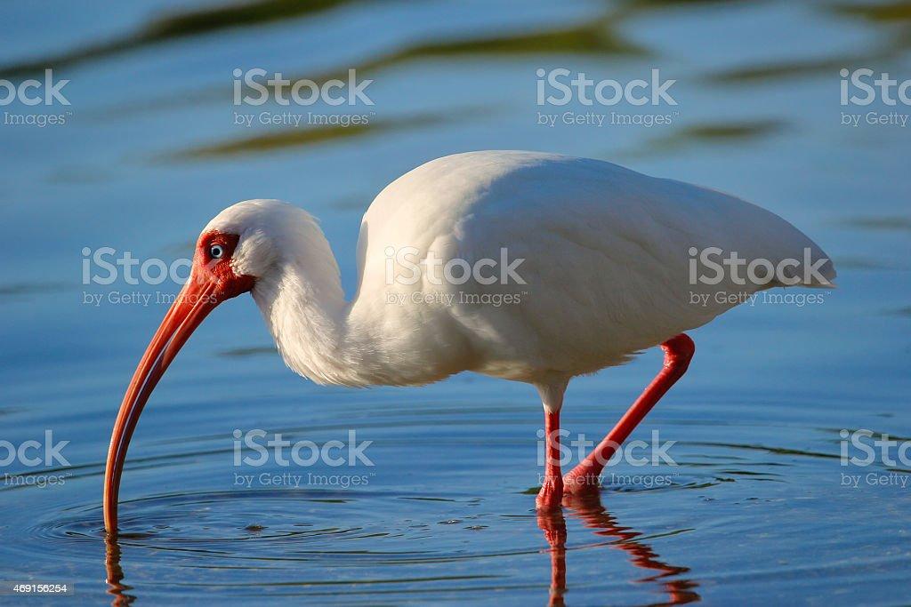 White Ibis feeding stock photo
