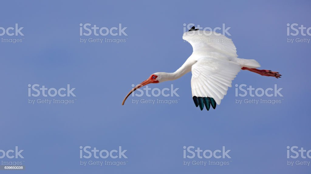 White ibis (Eudocimus albus) flying against blue sky, Sanibel Island stock photo