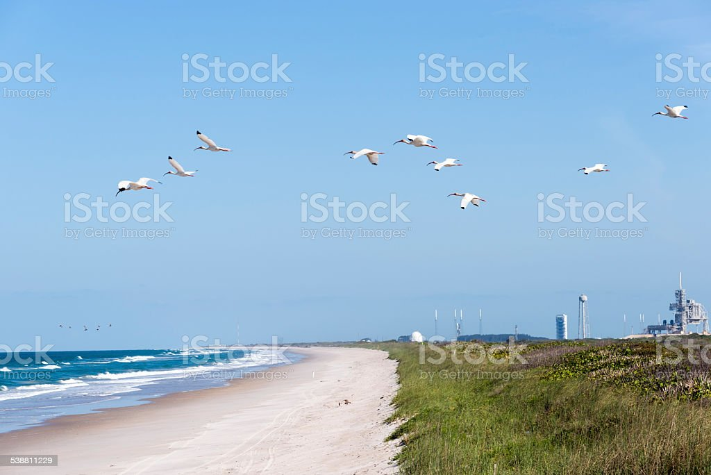 White Ibis flying at Cape Canaveral stock photo