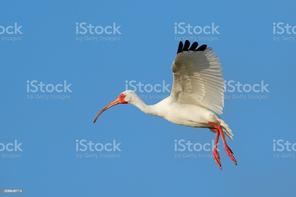 White Ibis flying in blue sky stock photo