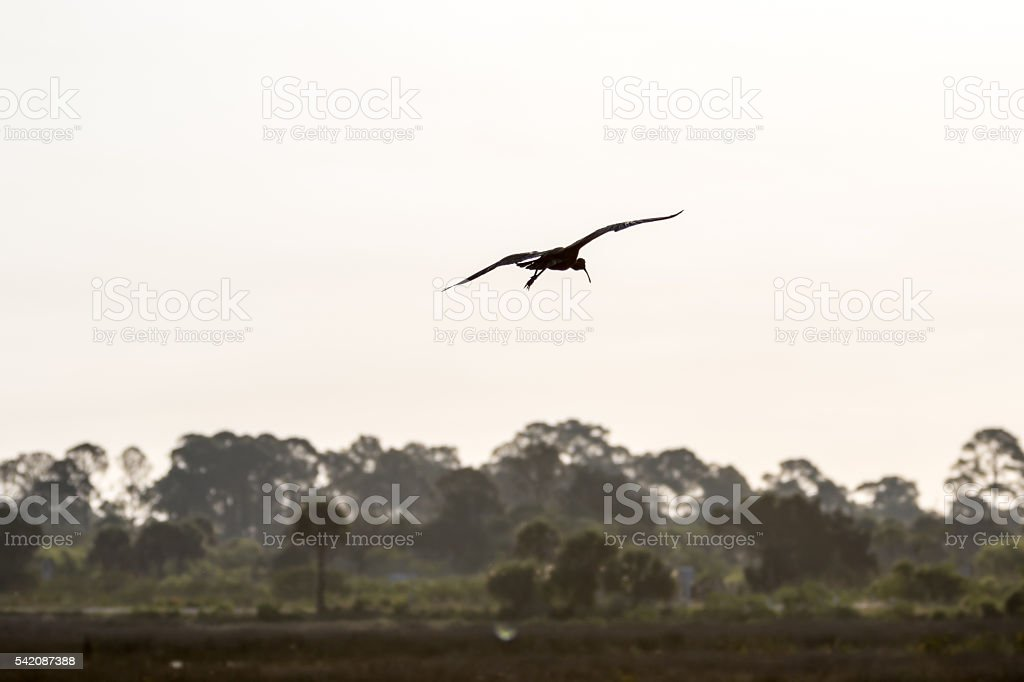 White Ibis Flying, Merritt Island National Wildlife Refuge, Flor stock photo