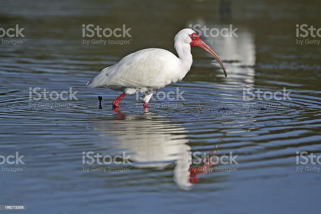 White Ibis Foraging in a Shallow Pond stock photo