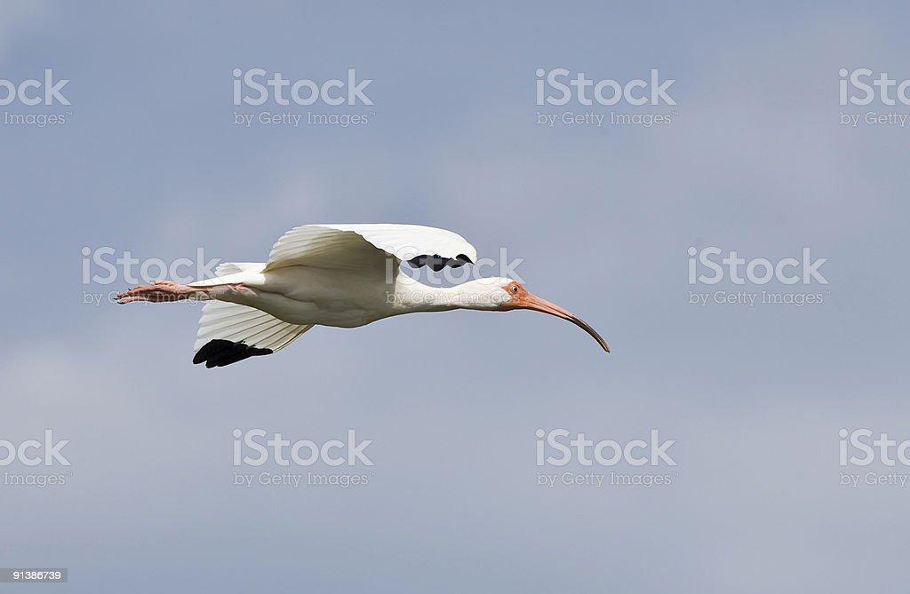 White Ibis in flight. stock photo