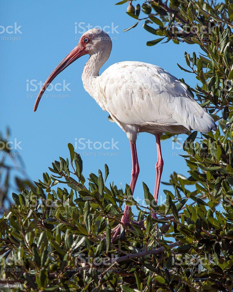 White Ibis in Olive Tree stock photo