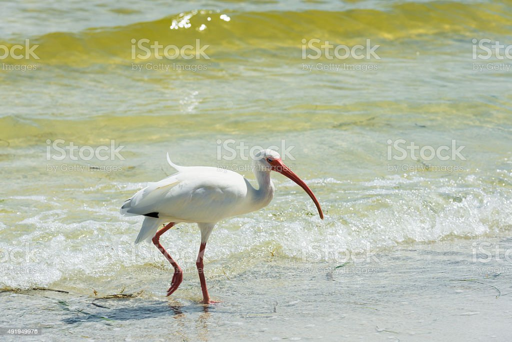 white ibis in the Gulf of Mexico in Florida stock photo