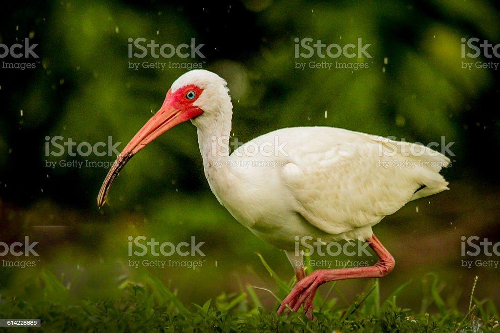 White Ibis in the Rain stock photo