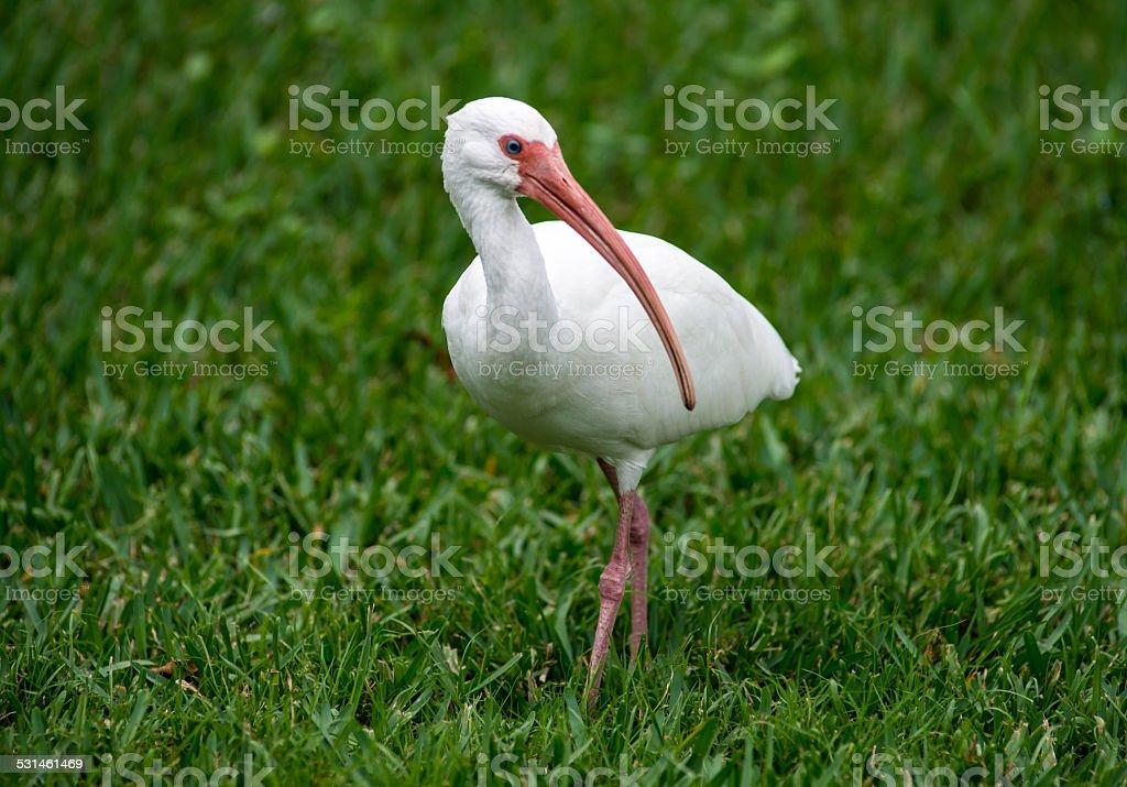 White Ibis Looking Left stock photo