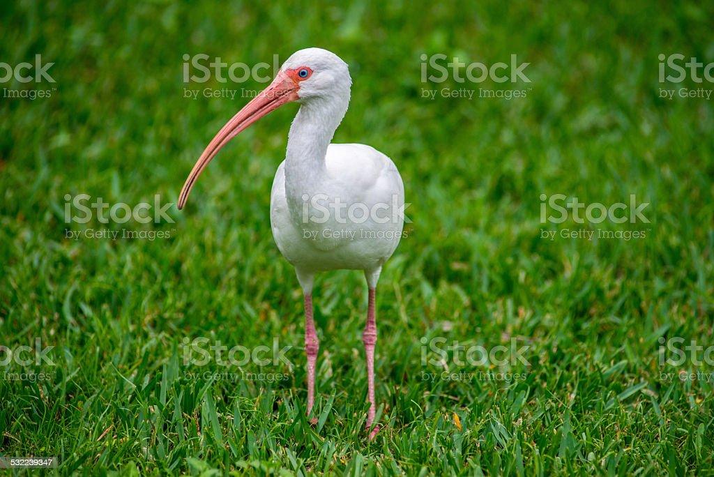 White Ibis Looking Sideways stock photo