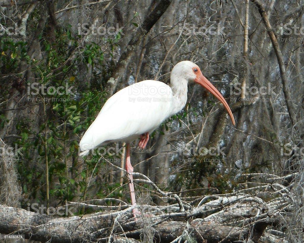 Ibis blanc dans un arbre branche photo libre de droits