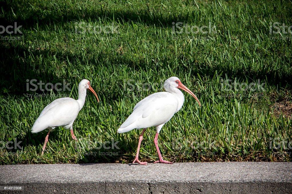 White Ibis on Sea Wall in Florida stock photo